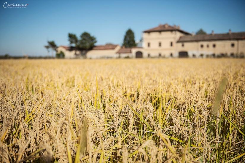 Italienisches Reisfeld
