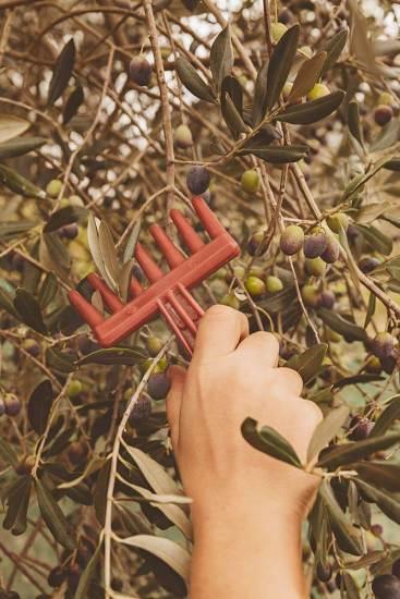 Händische Olivenernte