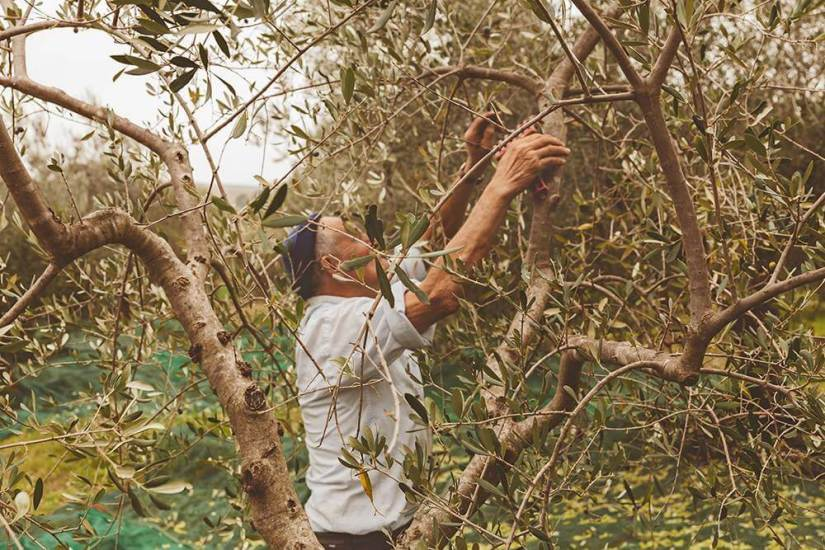 Alter Mann pflegt Olivenbaum
