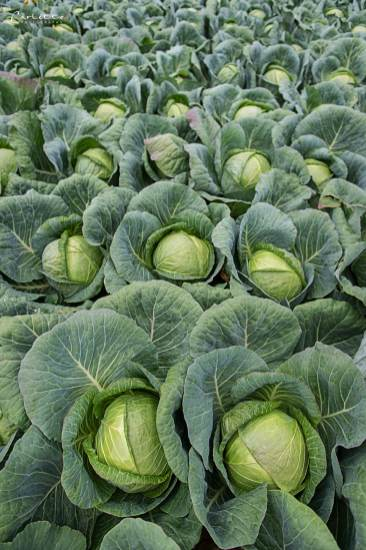 Sauerkraut Salat_3537