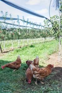 Apfelhuhn Bio Hühner Apfelgarten