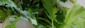 fresh-coriander sprigs
