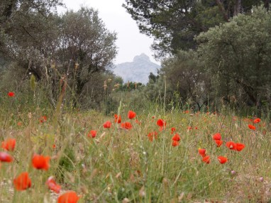 Les Alpilles peeping through the olives trees and fields of poppies