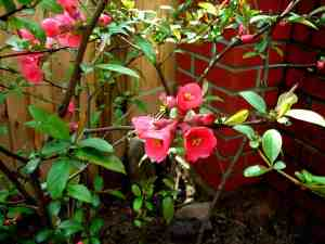 Flowering quince in spring.
