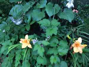 The daylillies are blooming in the garden. I love the peach color of the flowers.