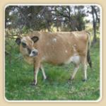 MooberryFarms-Cow