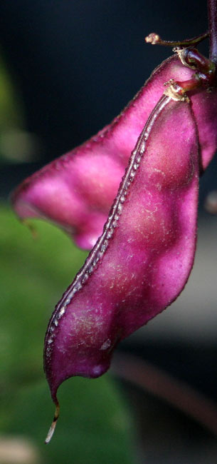 Hyacinth Bean Wiki Facts For This Cookery Ingredient