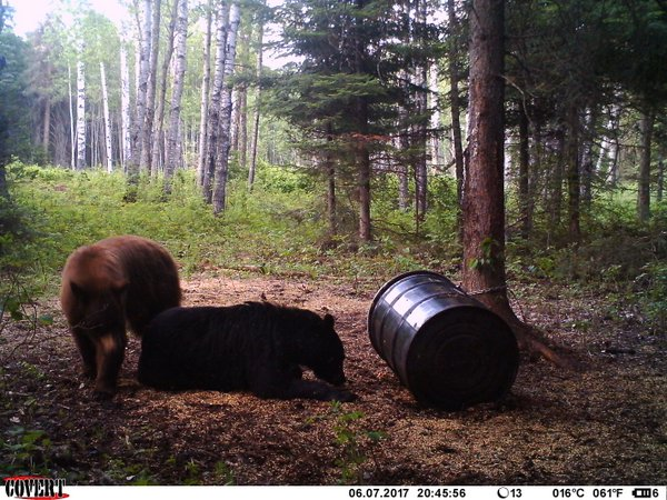 black bear trail cam - image