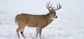white tail deer portrait - image