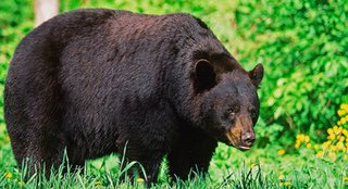 big black bear - image