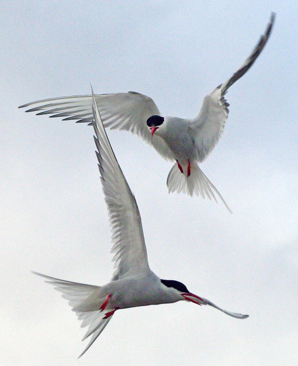 Arctic Tern Facts And Adaptations Sterna Paradisaea