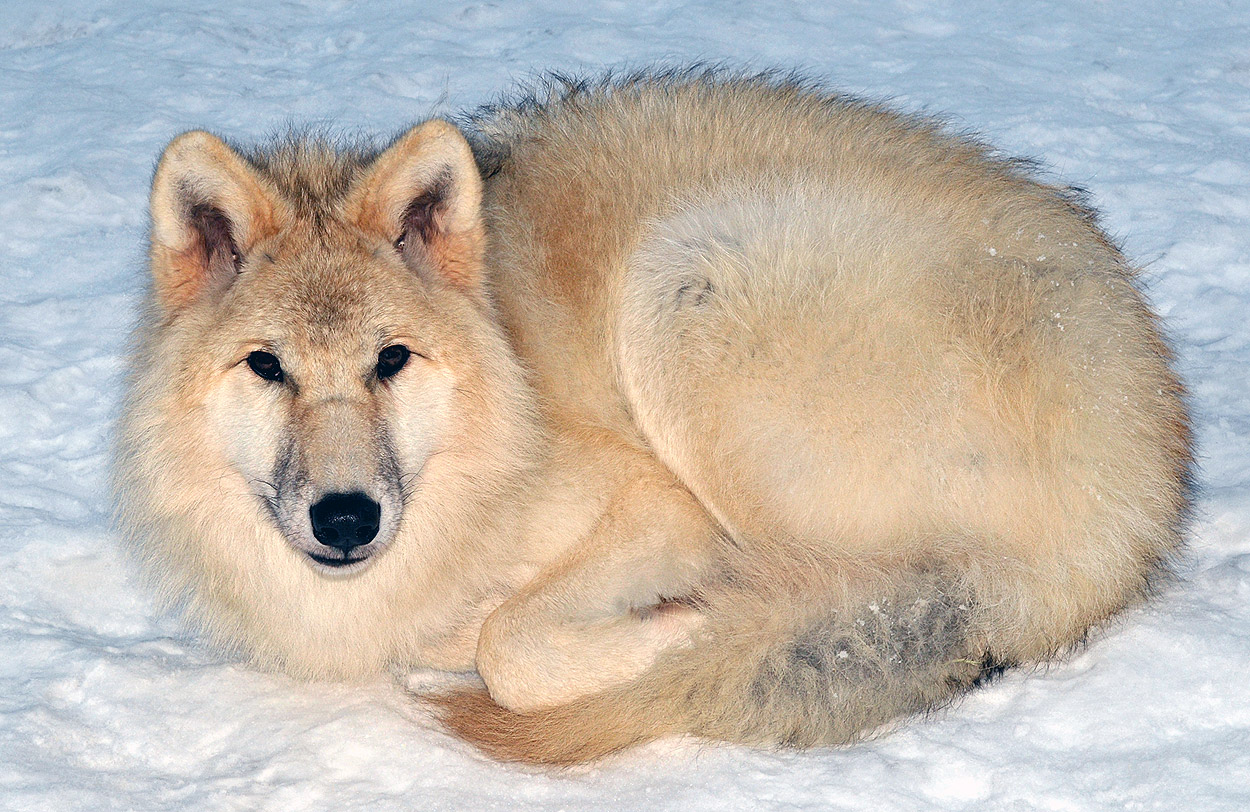 Arctic Wolf Facts And Adaptations