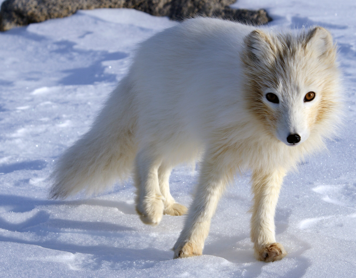 Arctic Fox Facts And Adaptations