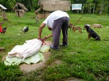 Salivating Dogs Watch Skinning of Pig