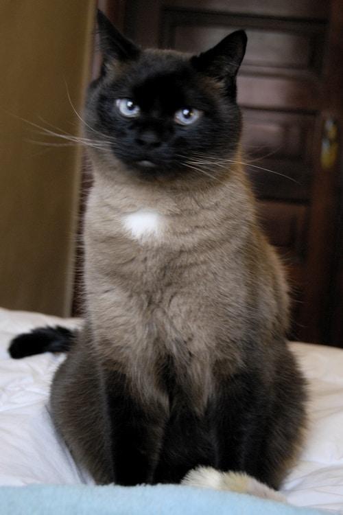 Persian Siamese Cat