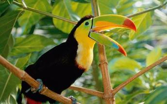 Toucan Facts For Kids