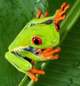 Red-Eyed Tree Frog Facts For Kids