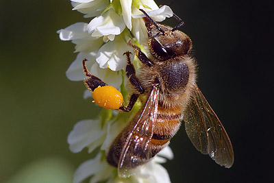 Apis mellifera Ivar Leidus CC4 Att Sa Int sm - Los Invertebrados Definición y carateristicas
