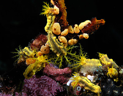 Sea cucumber grouping komodo sm - Los Invertebrados Definición y carateristicas