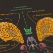 Het menselijk brein van binnen