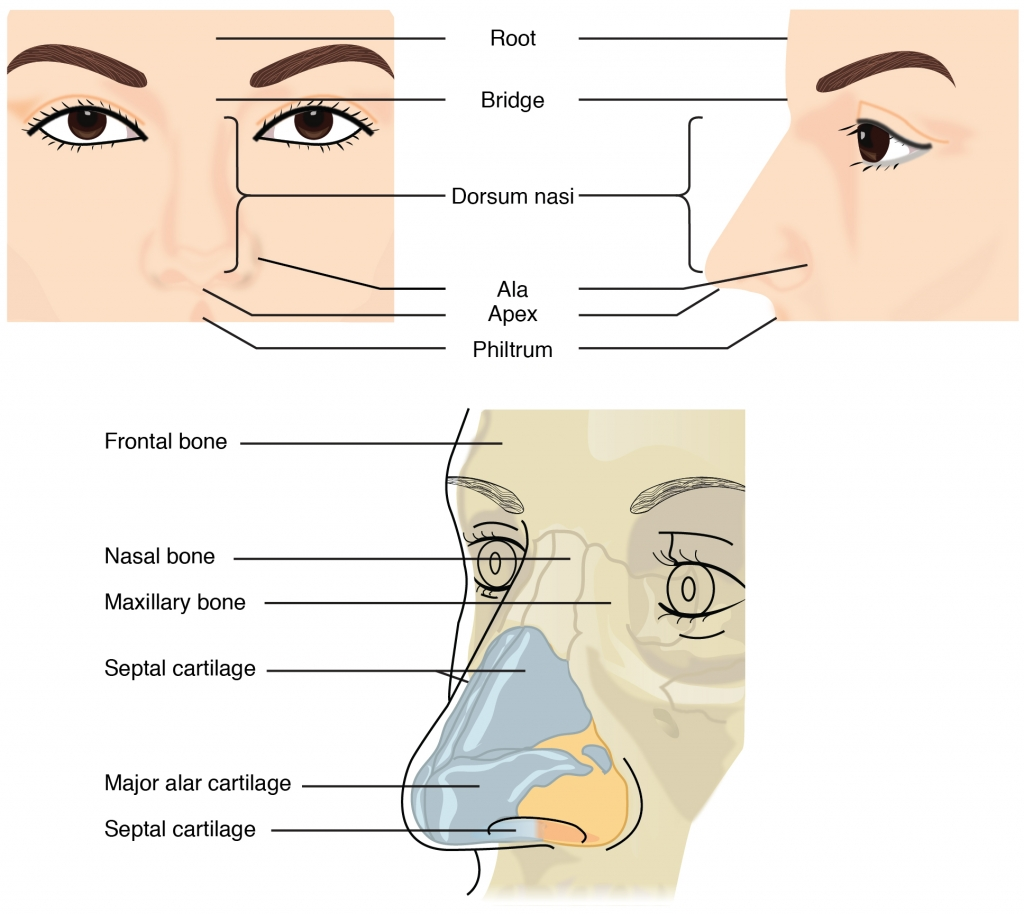 Interesting Nose Facts