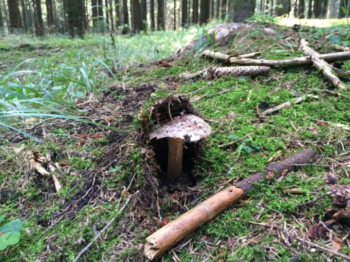 Jede Menge Pilze im Wald nebenan