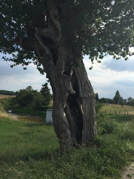 Alter Baum auf dem Weg nach Trabitz
