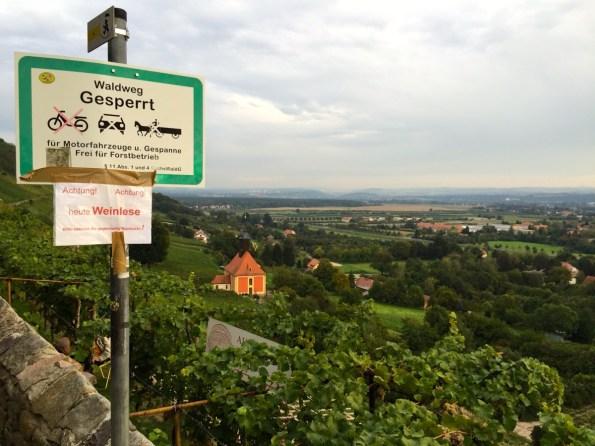 Weinberg oberhalb von Pillnitz – Weinlese