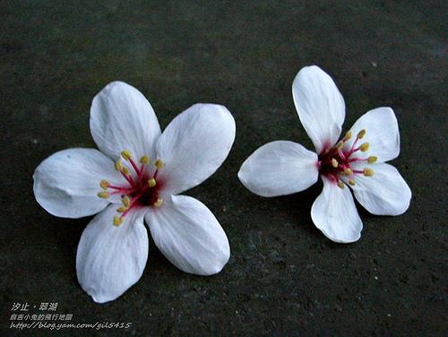 汐止星光後花園:【翠湖】賞油桐花&螢火蟲 @麻吉小兔吃貨旅行團
