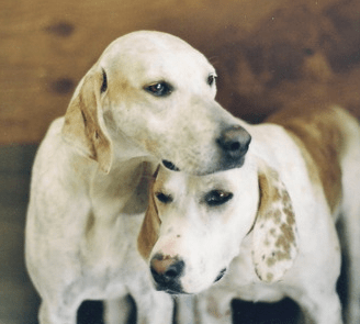 Image result for coonhound white