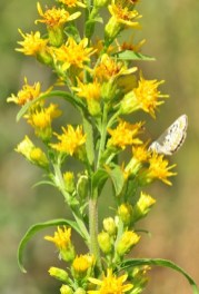 azuré de la bugrane ( Polyommatus icarus )