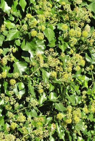 Dimorphisme foliaire du lierre : feuilles rhomboïdes des rameaux fertiles.