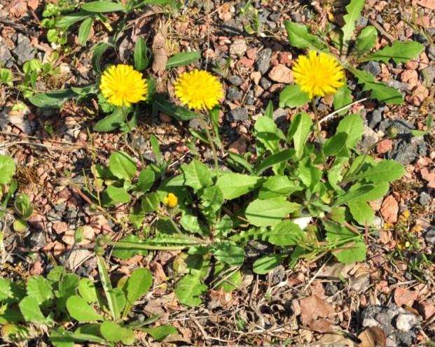 Dans les terrains ingrats et plutôt secs, la plante reste naine