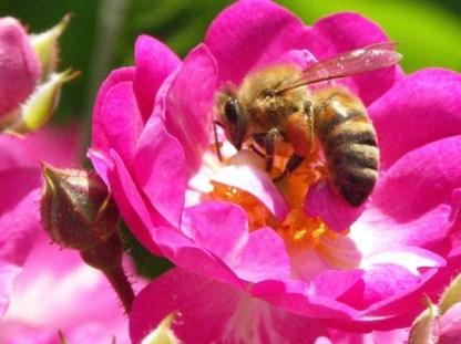 abeille-sur-fleur