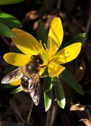 plante mellifere yranthe d hiver jacques piquée coopapiloire (2)