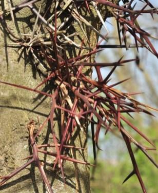 plante_mellifere_le-fevier-d-amérique_jacques_piquee_coopapiloire (2)