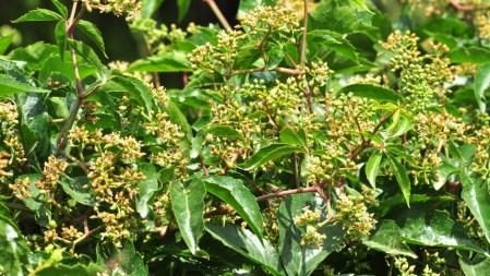 plante_mellifere_parthénocisse_a_5_folioles_jacques_piquee_coopapiloire (1)
