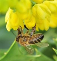 plante_mellifere_mahonia_hybride_jacques_piquee_coopapiloire (8)