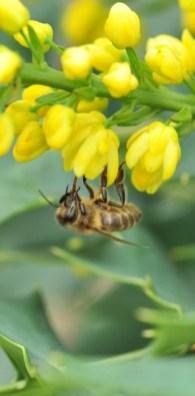 plante_mellifere_mahonia_hybride_jacques_piquee_coopapiloire (9)