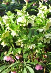 plante_mellifere_hellébore_oriental_jacques_piquee_coopapiloire (4)