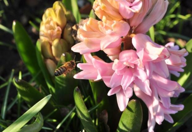 plante_mellifere_jacinthe_dOrient_page_jacques_piquee_coopapiloire (5)