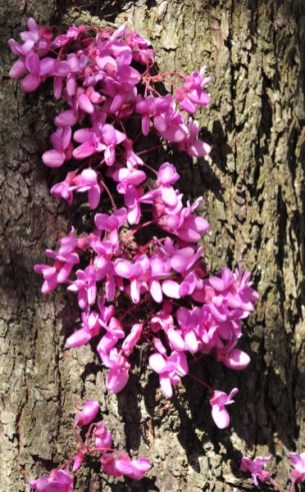 Les fleurs en fascicule apparaissent aussi directement sur le tronc