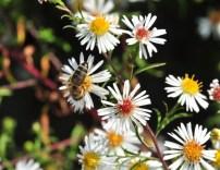 plante_mellifere_asters_dautomne_jacques_piquee_coopapiloire (8)