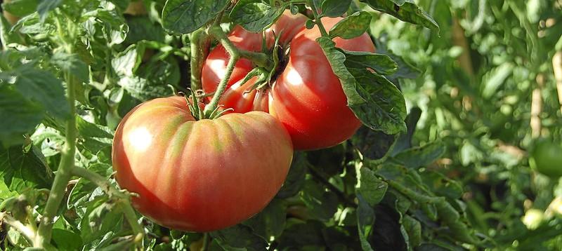 Planta de Tomate Rosa de Barbastro
