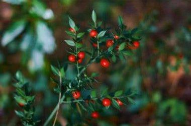 Il pungitopo pianta decorativa ma anche potente vasocostrittore naturale