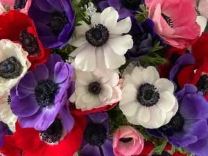 Gli anemoni dei fiorai, orgoglio invernale