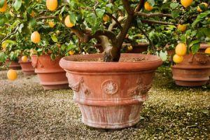 Pianta di limone: caratteristiche e consigli per coltivarla a casa