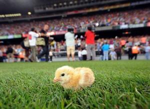 Gallus the chicken