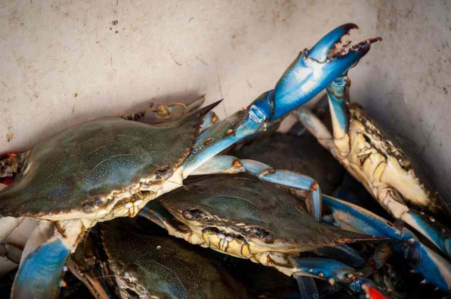 Chesapeake Bay blue crabs are at their most plentiful in seven years, scientists say