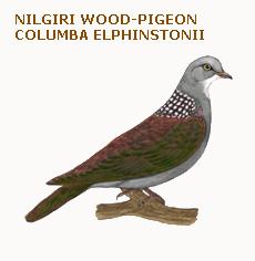 079 nilgiri wood-pigeon columba elphinstonii